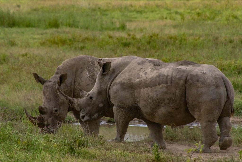 Southern white rhino at Lake Nakuru National Park in Kenya