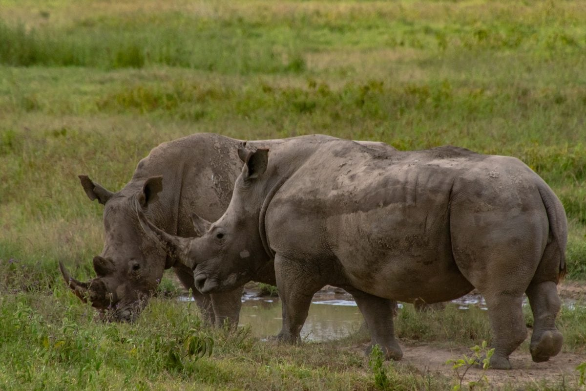 Photo POSTcard: A Privileged Sighting of Southern White Rhinos