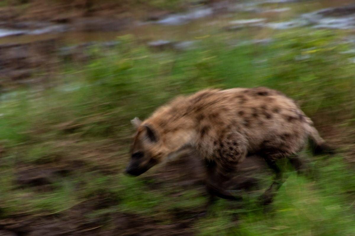 PhotoPOSTcard: A Spotted Hyena Spotting