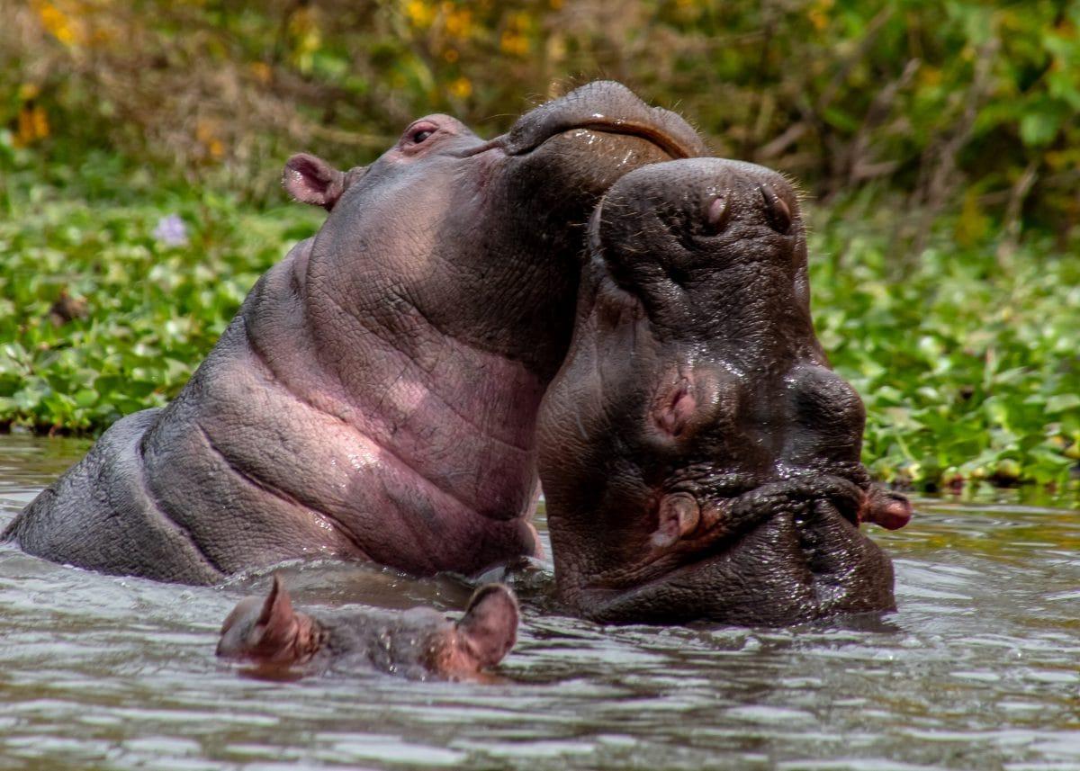 PhotoPOSTcard: Hippo Love
