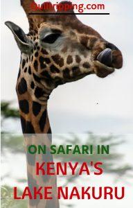 discovering endangered rhinos and giraffes on safari in Safari in Lake Nakuru #africa #kenya #lakenakuru #rhinos