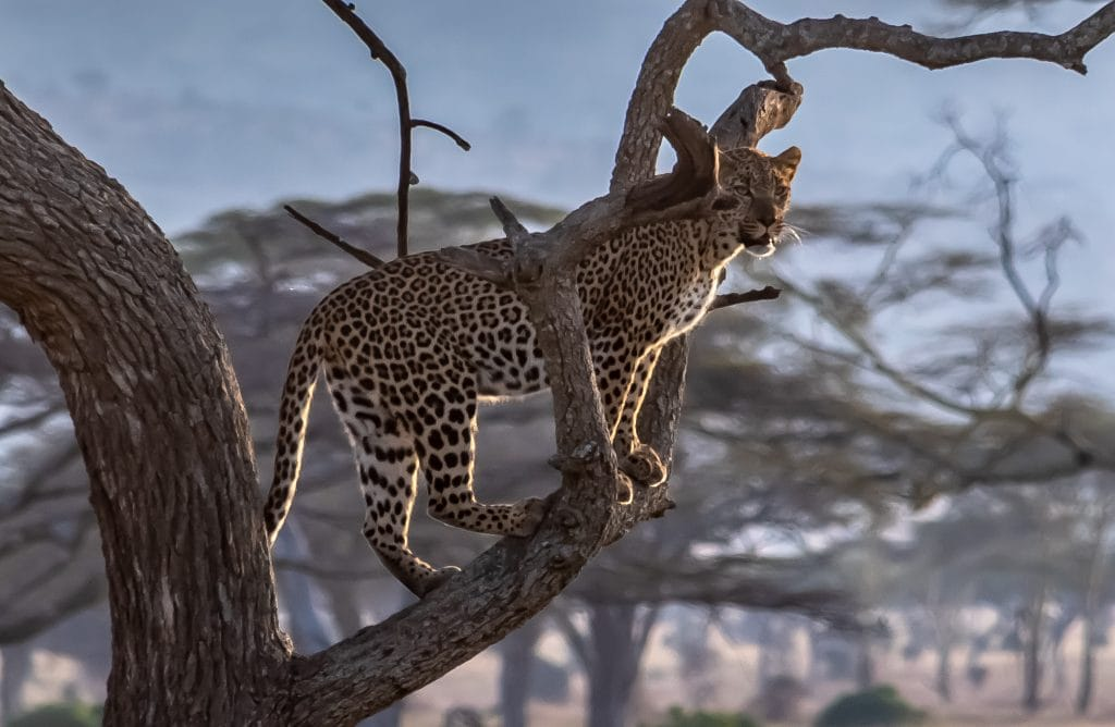 a leopard sighting in the Serengeti