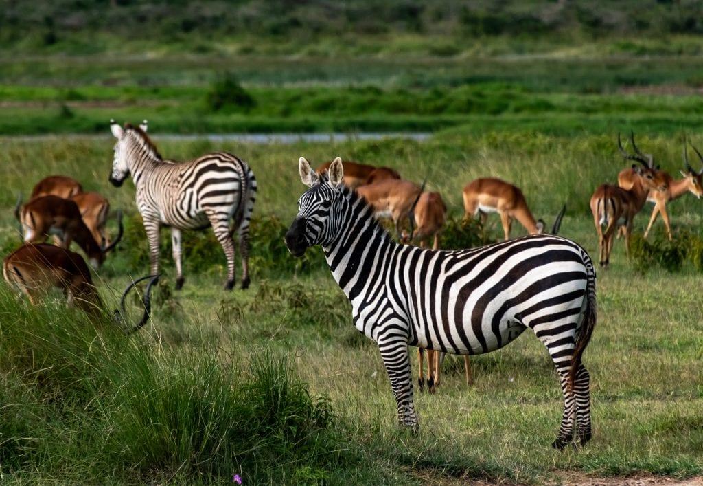 Zebras and impalas