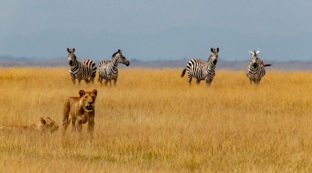 lions attempting a hunt