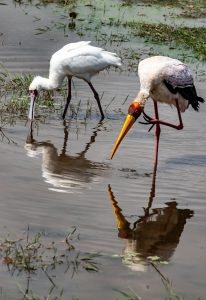 spoonbill and yellow-billed stork