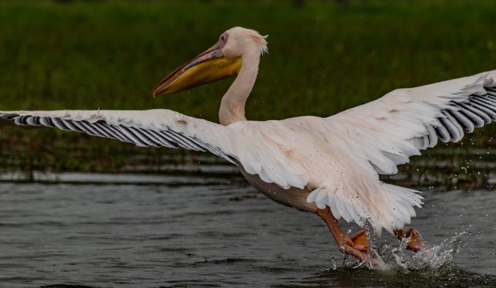 African pelican