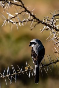 grey backed fiscal