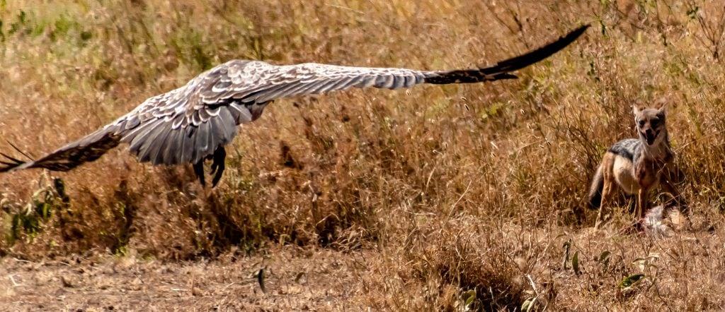 Vulture and jackal fighting over dinner