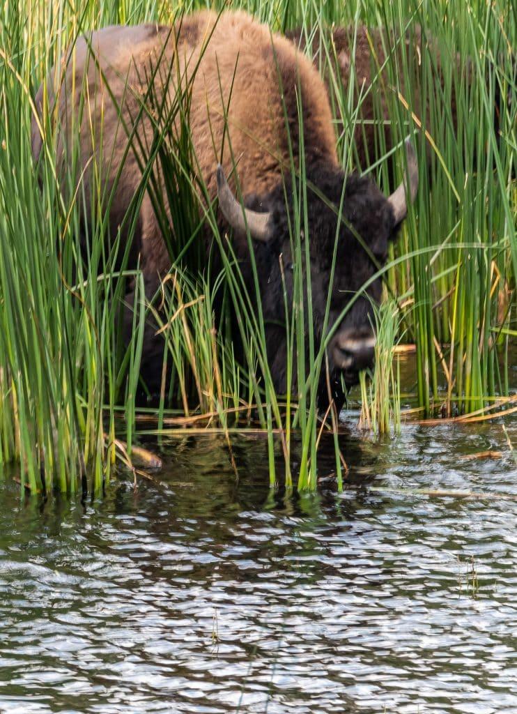 A bison gets a drink in Lamar Valley