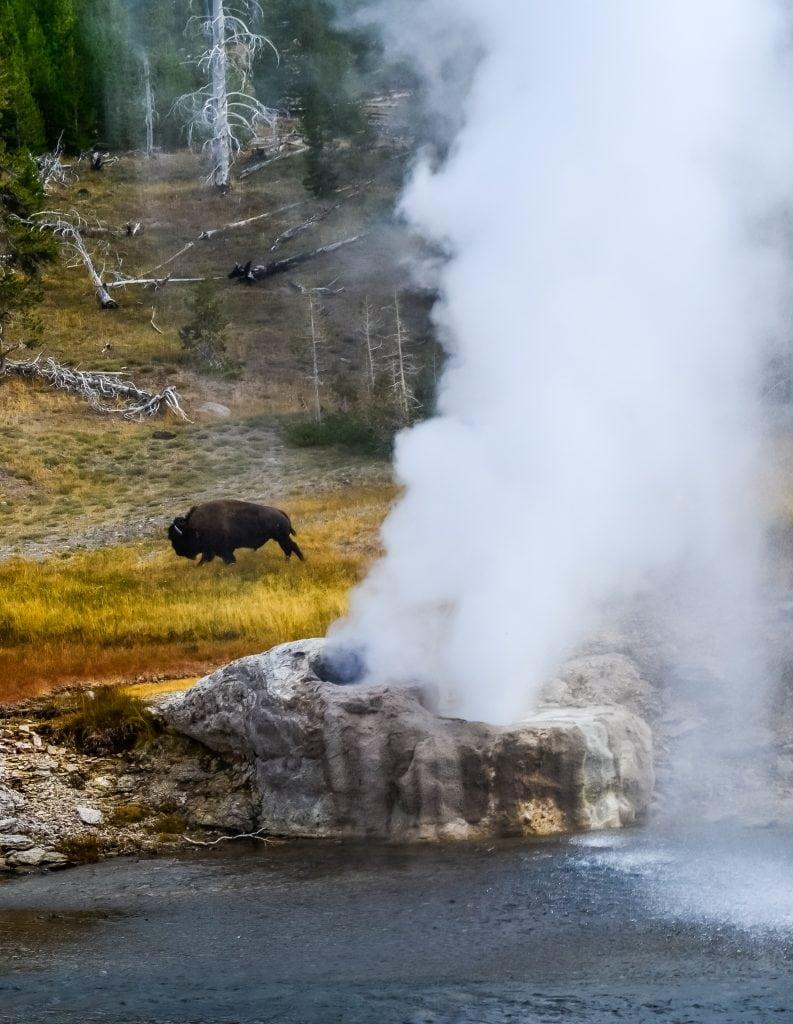 An American Bison grazes behind Riverside Geyser at Yellowstone National Park