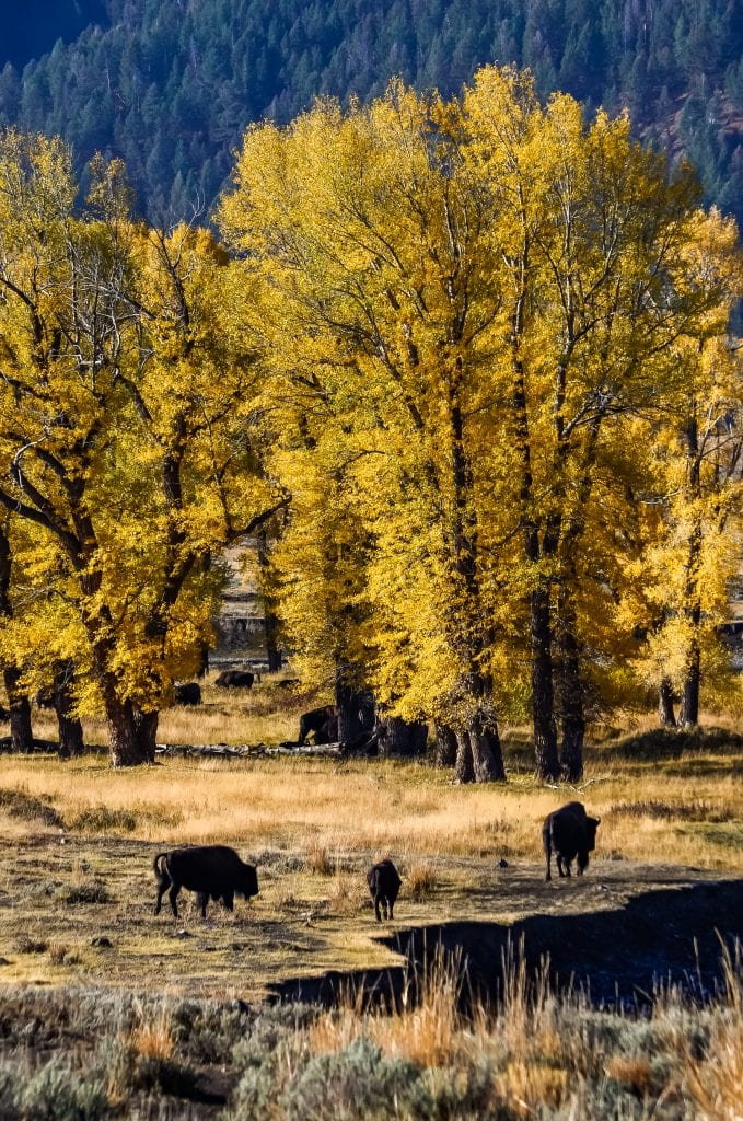 By the end of September, the trees start to change color in Yellowstone